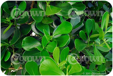Clusia Rosea Landscape Plants For South Florida 2015 | Personal Blog
