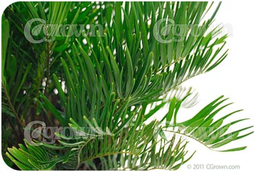 Coontie_Palm
