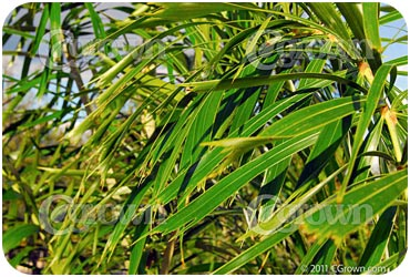 Foxtail_Palm